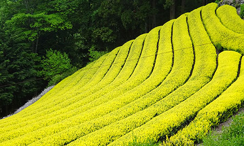 [銀座] 【 お茶旅講座第19回 お茶で巡る世界の旅 美しき日本茶のふるさとを訪ねて~茶畑巡りから生まれた茶縁の旅~ 】