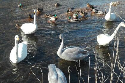 帯広川で帯広の冬の風物詩「 オオハクチョウ 」 に感動する