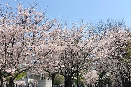 天神の桜🌸